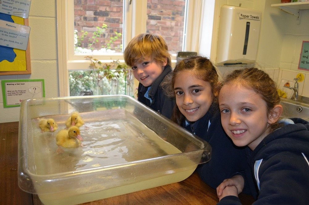 ducklings-ducks-eggs-Parsons-Green-Prep-School-Fulham-SW6-London-UK-teaching-education-learning-independent
